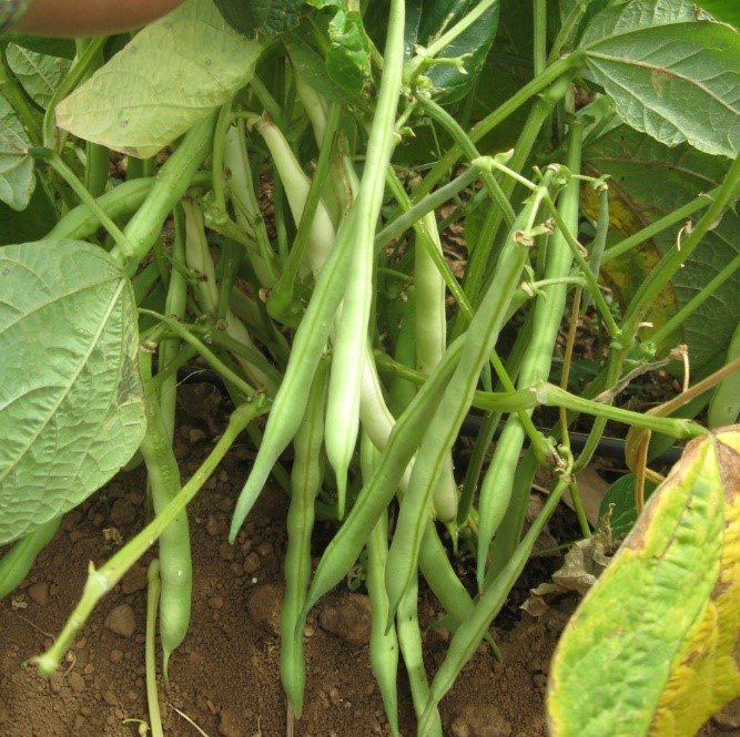 Hope For Bean Growers